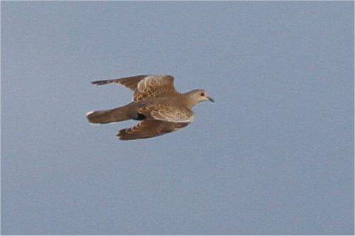 2010clarepics/glossy ibis.jpg