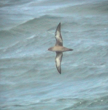 rare/long-tailed skua juv 29aug04 2d.jpg