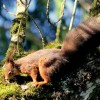 Red Squirrel JH