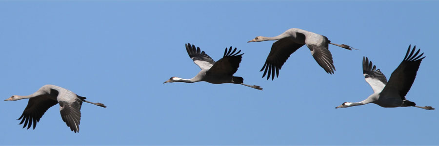 Cranes (c) John N Murphy