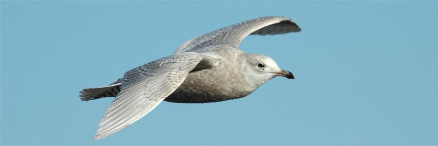 Iceland Gull (c) John N Murphy