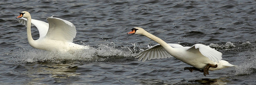 Mute Swans (c) John N Murphy