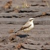 Wheatear(MS)