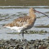 Curlew (G Hunt)