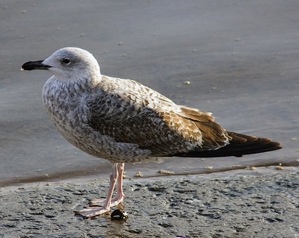 1w Yellow-legged Gull1 HH