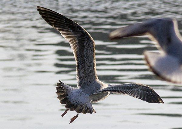 Caspian Gull1 HH