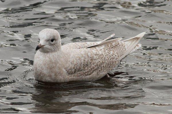 Iceland Gull 1wD1r