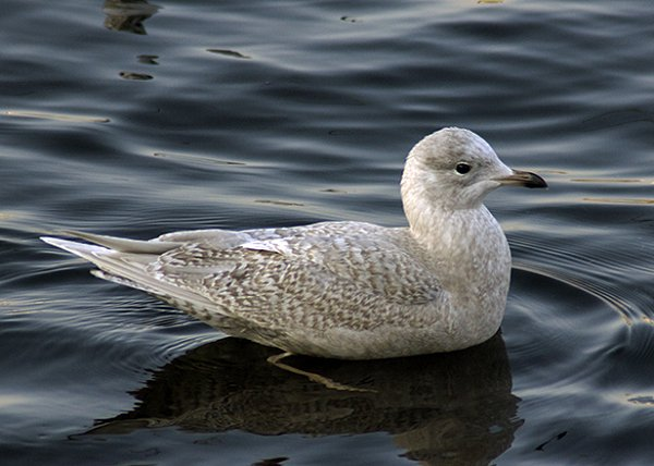 Iw Iceland Gull HH